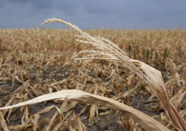 Najnowsze informacje o zagrożeniu suszą w rolnictwie